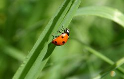 Madame Bug In The Grass Photographie stock libre de droits