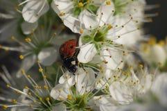 Madame Bug sur l'arbre fleuri - la vie toujours Photographie stock