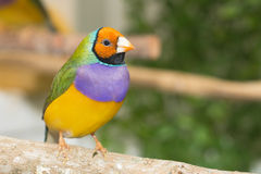 Madame Gouldian Finch photographie stock libre de droits