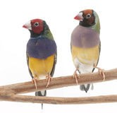Madame Gouldian Finches Images stock