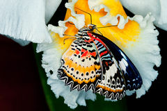 Madame peinte Butterfly Feeding Photo stock