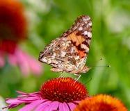 Madame peinte Butterfly s'asseyant sur le centre d'un coneflower rose à la lumière du soleil photographie stock