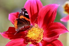 Madame peinte Butterfly se nourrissant du dahlia rouge, plan rapproché images libres de droits