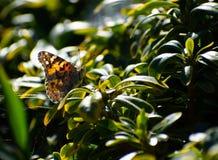 Madame peinte Butterfly sur la feuille verte avec de la toile d'araignée photo stock
