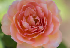 Madame rose de ` de Rose d'arbuste de ` de Charlott Photo libre de droits