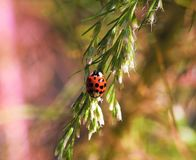 Madame rouge Bug Photographie stock libre de droits