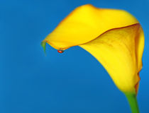Madame rouge Bug sur un Lilly jaune sur le fond bleu Photo stock