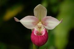 Madame Slipper Orchid Paphiopedilum Image libre de droits