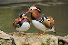 Madarin ducks Royalty Free Stock Photos