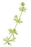 Madder plant stem Stock Photography