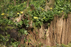 A madeira amarela floresce os ranunculoides da anêmona da anêmona que crescem em um topo velho Fotografia de Stock Royalty Free