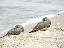 Florida, Madeira beach, two small birds rest nestled and close on the beach. Madeira beach, two small birds rest nestled and close on the beach Stock Photo