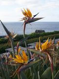 Bird of Paradise flowers in Garden in Funchal madeira Portugal Stock Photos