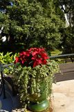Christmas Poinsetttia flowers in Garden in Funchal on the island of Madeira Stock Photo