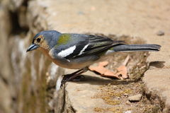 Madeira Chaffinch Royalty Free Stock Photography