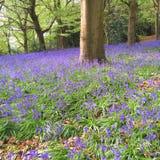 Madeira da campainha na primavera Imagem de Stock Royalty Free