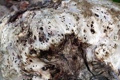 Madeira da goma de Weatherd Fotografia de Stock
