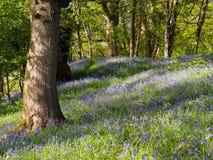 Madeira de Buebell, Gales Imagens de Stock