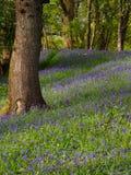 Madeira de Buebell, Gales Fotos de Stock Royalty Free