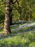 Madeira de Buebell, Gales Foto de Stock