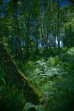 Madeira de vidoeiro Imagens de Stock Royalty Free
