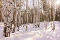 Madeira de vidoeiro do inverno Foto de Stock Royalty Free