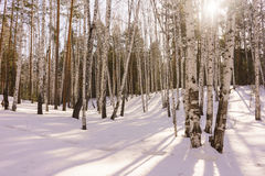 Madeira de vidoeiro do inverno Fotografia de Stock