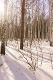 Madeira de vidoeiro do inverno Imagem de Stock
