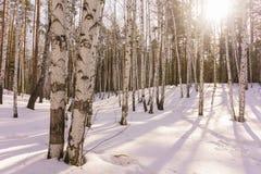 Madeira de vidoeiro do inverno Imagens de Stock