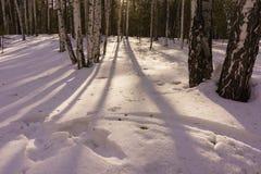 Madeira de vidoeiro do inverno Fotos de Stock Royalty Free