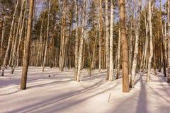Madeira de vidoeiro do inverno Fotografia de Stock Royalty Free