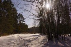 Madeira de vidoeiro do inverno Imagens de Stock Royalty Free