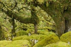 A madeira de Wistman Fotografia de Stock Royalty Free