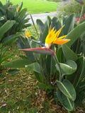 Madeira der Paradiesvogel in farbenreichem lizenzfreie stockbilder
