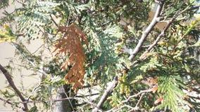 Madeira do abeto Imagem de Stock