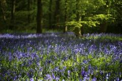 Madeira do Bluebell Imagem de Stock Royalty Free
