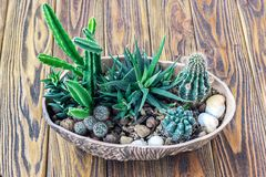 Madeira do cacto, do jardim pequeno das plantas cacto diminuto das plantas carnudas da vida ainda no potenciômetro no decorat esc Imagem de Stock