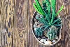 Madeira do cacto, do jardim pequeno das plantas cacto diminuto das plantas carnudas da vida ainda no potenciômetro no decorat esc Fotografia de Stock