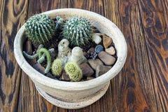 Madeira do cacto, do jardim pequeno das plantas cacto diminuto das plantas carnudas da vida ainda no potenciômetro no decorat esc Imagem de Stock Royalty Free