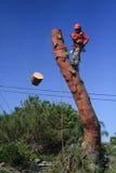 Madeira do corte do ajustador da árvore fora do pinheiro Imagens de Stock Royalty Free