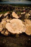 Madeira do corte do carvalho Imagens de Stock Royalty Free