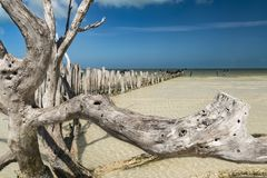 Madeira do vagabundo muito na água pouco profunda no Golfo do México imagem de stock