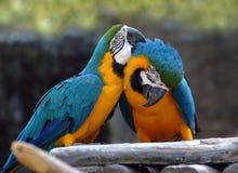 Madeira dos amantes do papagaio Fotos de Stock Royalty Free