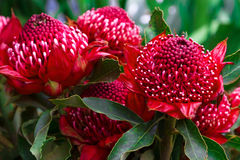 Madeira Flowers, Gembrook Telopea (Waratah Speciosissima).  Royalty Free Stock Images