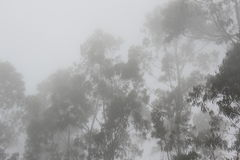 Madeira fog Eucalyptus tree Royalty Free Stock Photography