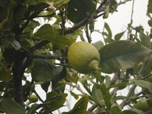 Madeira-Insel-Frucht-Garten Stockbild