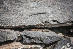 Madeira lizard (Teira dugesii) Stock Photo