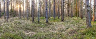 A madeira nos feixes do sol da manhã Imagem de Stock