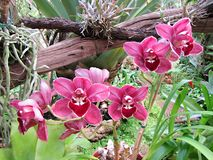 Madeira Orchid Stock Photos