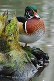 Madeira-Pato em um registro Fotografia de Stock Royalty Free